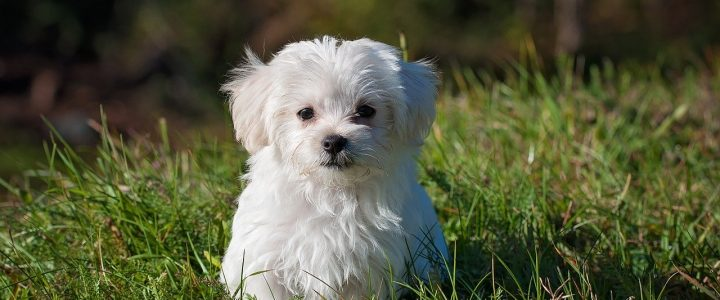 10 Most Popular Small Dog Breeds in the Philippines